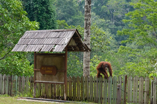 Orangutany w Semenggoh