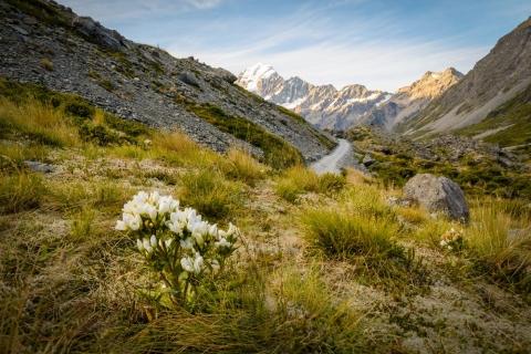 Kwiatek rosnący koło szlaku do lodowca Hooker
