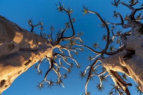 Drzewa kokerboom widziane z dołu