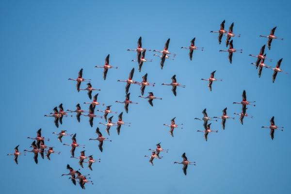 Lecące flamingi